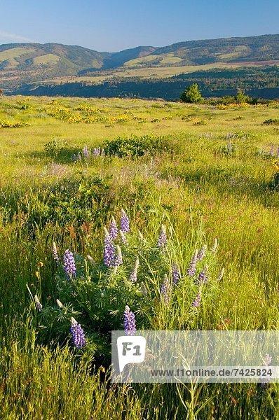 Landschaftlich schön  landschaftlich reizvoll  Fluss  Zimmer  Schlucht  Lupine  Oregon