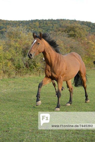 Zwei Pferde rennen auf einer Wiese