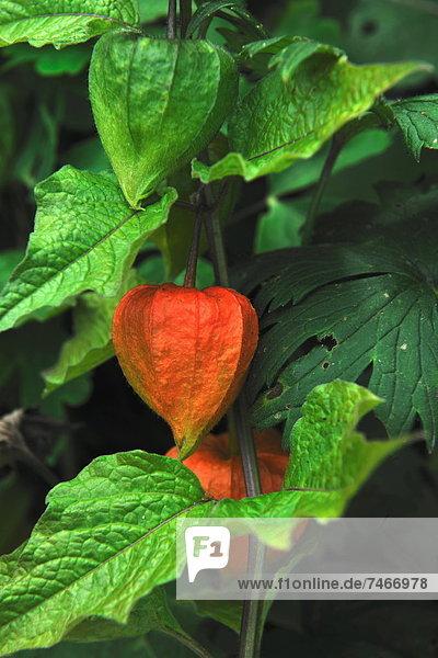 Blume  chinesisch  Laterne - Beleuchtungskörper Blume ,chinesisch ,Laterne - Beleuchtungskörper
