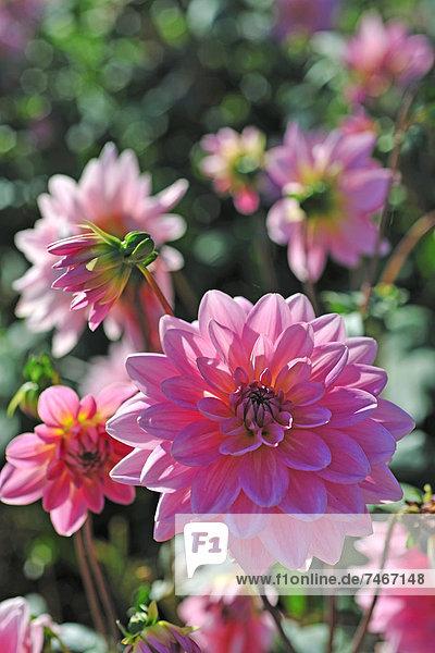 Blooming Dahlia