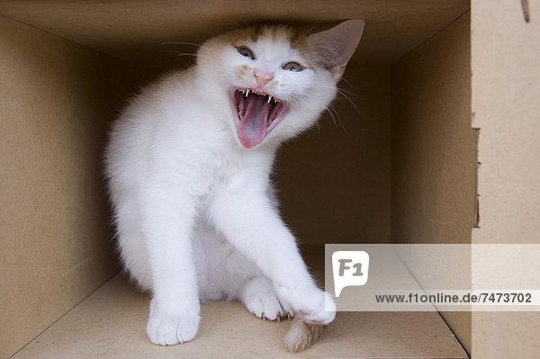 Pappe  Fauchende Katze  Kätzchen  Katze Pappe ,Fauchende Katze ,Kätzchen, Katze