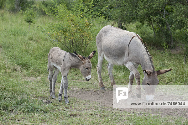France  Provence  Female donkey and foal grazing on meadow