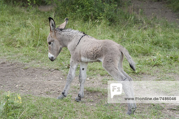 France  Provence  New born foal on meadow