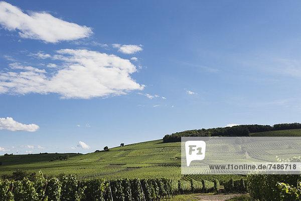 Frankreich  Blick auf die Weinberge von Riquewihr