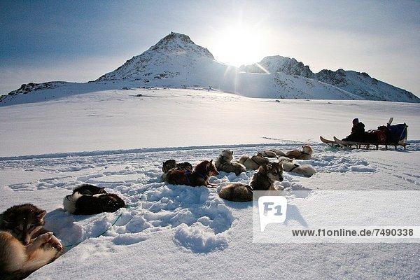 Hund  Grönland  Schlitten