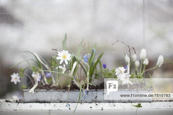 Blume ,Wachstum ,Setzling