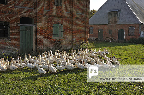 Free-range mulard ducks in a meadow  stables built in 1920 at the back  Othenstorf estate organic farm  Othenstorf  Mecklenburg-Western Pomerania  Germany  Europe