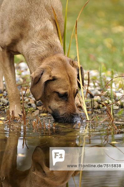 Rhodesian Ridgeback Mix trinkt aus einem Teich
