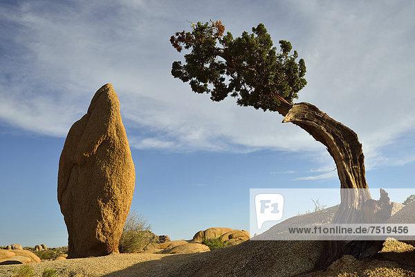 Druid Rock  Monzogranit-Felsformation  Utah-Wacholder (Juniperus osteosperma)  Jumbo-Rocks  Joshua Tree Nationalpark  Mojave-Wüste  Kalifornien  Südwesten  Vereinigte Staaten von Amerika  USA
