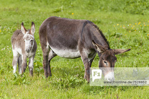 Donkey (Equus asinus asinus)  mare and foal  County Clare  Republic of Ireland  Europe
