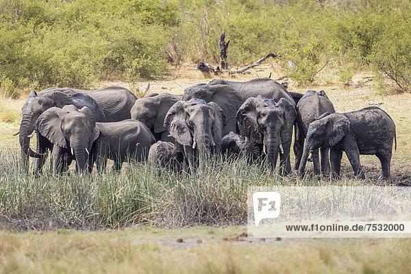 Afrikanische Elefanten (Loxodonta africana)  Madumu National Park  Caprivi-Streifen  Namibia  Afrika