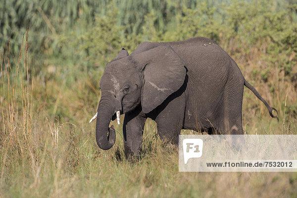 Afrikanischer Elefant (Loxodonta africana)  Mamili National Park  Caprivi-Streifen  Namibia  Afrika