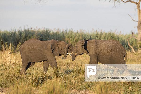 Afrikanische Elefanten (Loxodonta africana)  Mamili National Park  Caprivi-Streifen  Namibia  Afrika