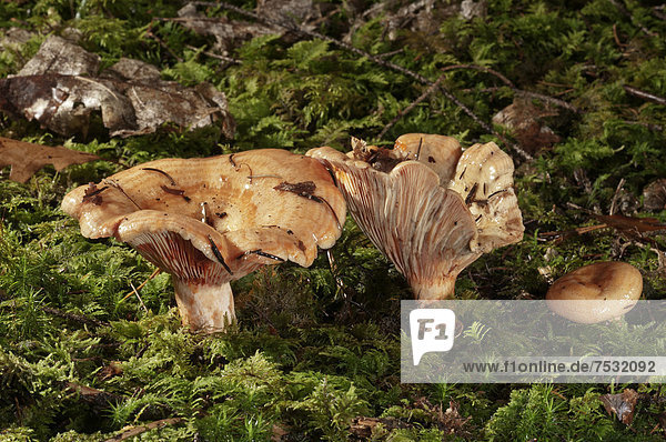 Fichtenreizker (Lactarius deterrimus)  Untergröningen  Baden-Württemberg  Deutschland  Europa