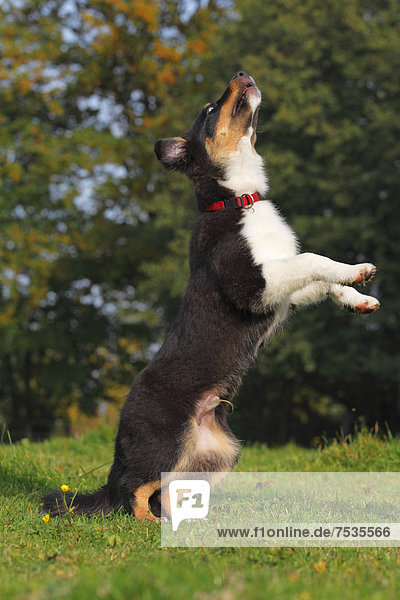 Australian Shepherd Black Tri Rüde  Welpe  macht Männchen
