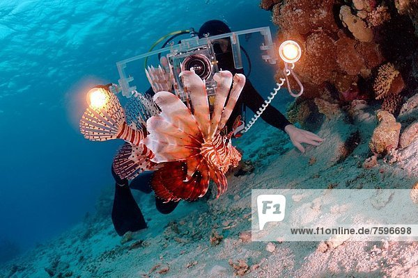 Rotfeuerfisch  Pterois volitans  Meer  rot  Kameramann  Ägypten