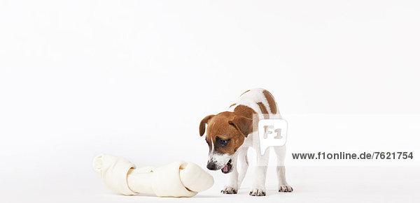 Hund schaut auf übergroßen Knochen Hund schaut auf übergroßen Knochen