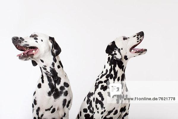 Identische Hunde  die zusammen keuchen Identische Hunde, die zusammen keuchen