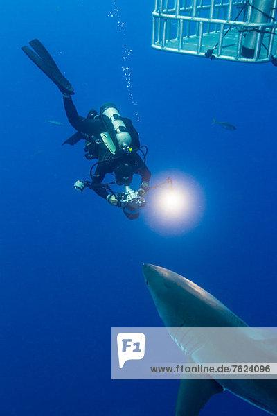 Swimming with White Shark