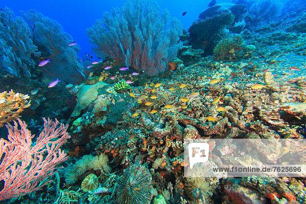 Fische schwimmen im Korallenriff