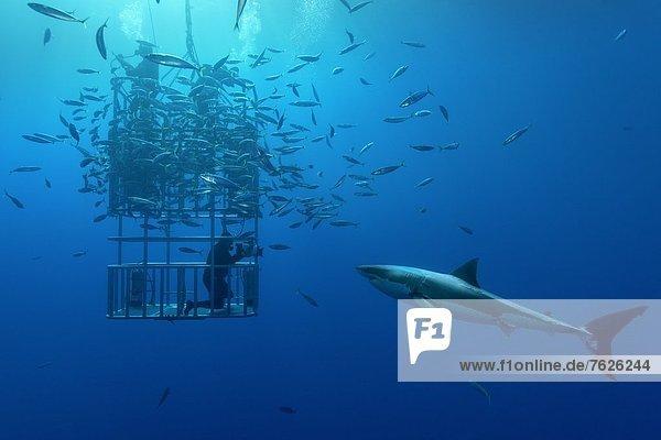 Großer Weißer Hai (Carcharodon carcharias)  Fischschwarm und Taucher im Käfig  Guadalupe  Mexiko  Unterwasseraufnahme Fischschwarm Unterwasseraufnahme