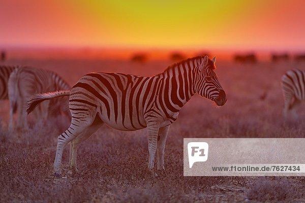 Steppenzebras (Equus quagga)  Okondeka Waterhole  Namibia
