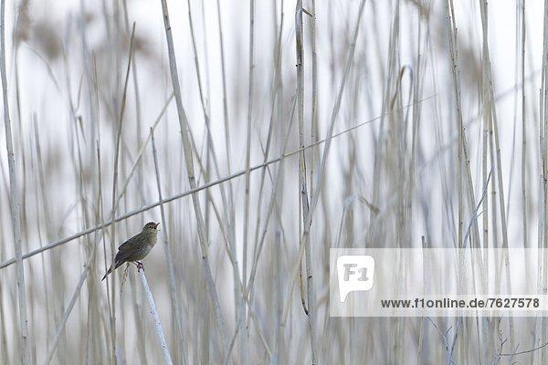 Feldschwirl (Locustella naevia)