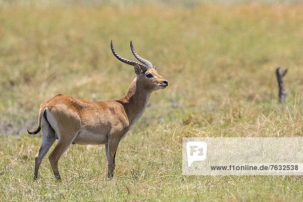 Letschwe  Lechwe (Kobus leche)  Bwabwata-Nationalpark  Caprivizipfel  Namibia  Afrika