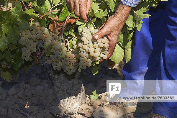 Lese von Pedro Ximenez Trauben  Bodegas CabriÒana  Traubenlese in einem Weinberg in Montilla  Montilla-Moriles Weinbauregion  Provinz CÛrdoba  Andalusien  Spanien  Europa