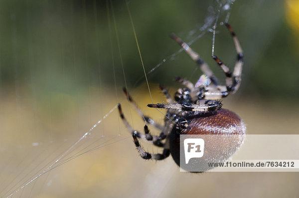 Echte Radnetzspinne (Araneidae) spinnt ihr Netz  Alaska
