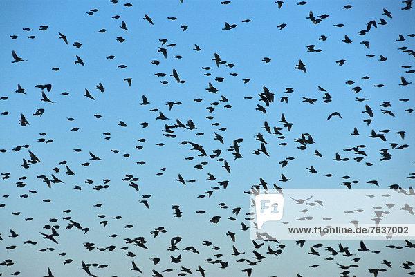 Vereinigte Staaten von Amerika  USA  Amerika  Vogel  groß  großes  großer  große  großen  Vogelschwarm  Vogelschar  Flucht  Bosque del Apache  New Mexico  Schwarm  Wildtier