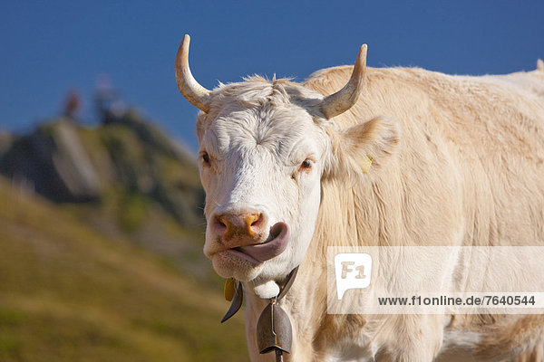 Cow  mountain  mountains  canton  Bern  Bernese  Alps  Bernese Oberland  cow  cows  agriculture  Switzerland  Europe  Grindelwald  Wetterhorn  Simmental cattl
