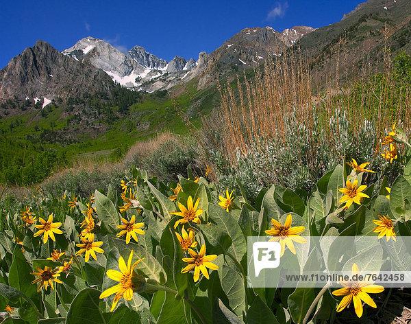 Vereinigte Staaten von Amerika  USA  Amerika  Sommer  Wildblume  Berggipfel  Gipfel  Spitze  Spitzen  Kalifornien  Schlucht  Jahreszeit
