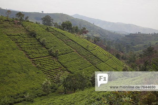Ostafrika  Nationalpark  Berg  Landschaft  Landwirtschaft  Plantage  Afrika  Tee  Uganda