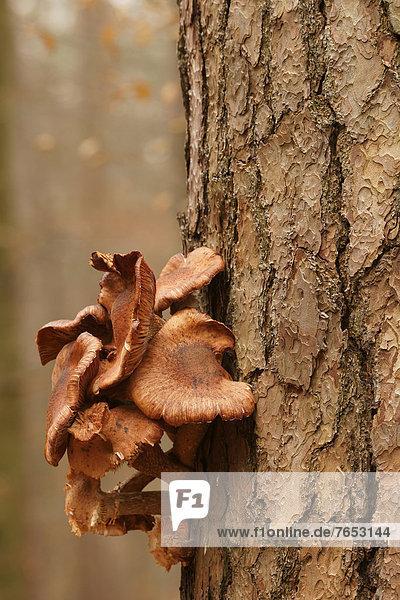 Europa  Baum  Kiefer  Pinus sylvestris  Kiefern  Föhren  Pinie  Pilz  Bad Hersfeld  Deutschland  Honig