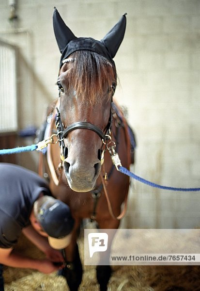 Mann legt Pferd Zaumzeug an  Nahaufnahme