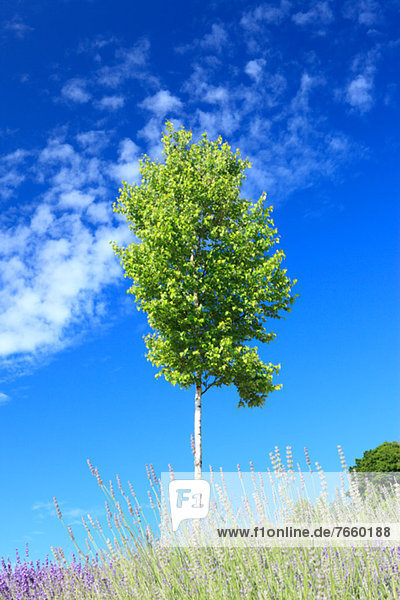 Wolke  Baum  Himmel  blau  Birke