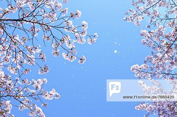 Himmel  Kirsche  blühen  blau