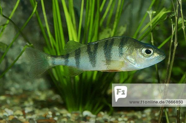 Flussbarsch (Perca fluviatilis)  Süßwasserfisch  Vorkommen in Europa  captive