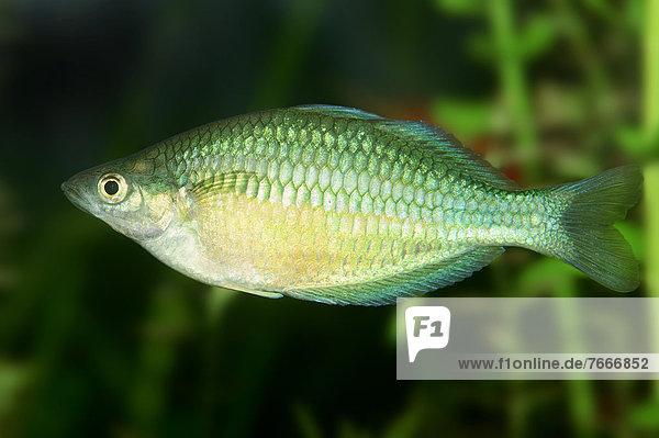 Diamant-Regenbogenfisch oder Neon-Regenbogenfisch (Melanotaenia praecox)  Weibchen  Vorkommen in Neuguinea  captive