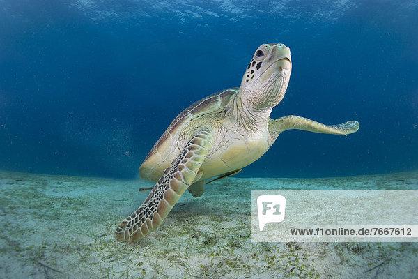 Green Sea Turtle (Chelonia mydas)