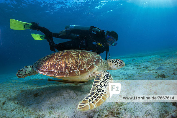 Diver watching a Green Sea Turtle (Chelonia mydas)