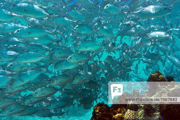 School of Bigeye Trevally (Caranx sexfasciatus) in a lagoon