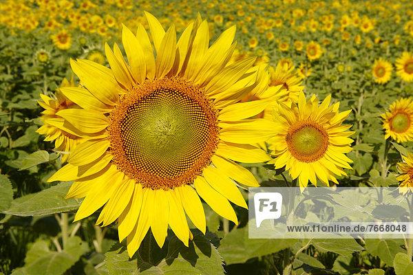 Sonnenblumenfeld (Helianthus annuus)  Ungarn  Europa