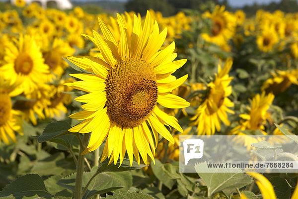 Sonnenblumen (Helianthus annuus)  Sonnenblumenfeld