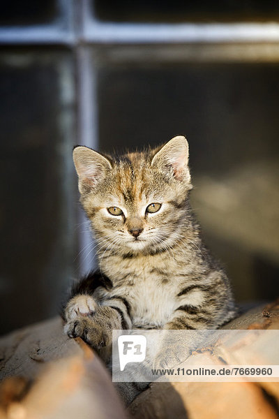 Braun-getigertes Kätzchen  Bauernhofkatze  sitzt auf einem Holzstapel und sonnt sich
