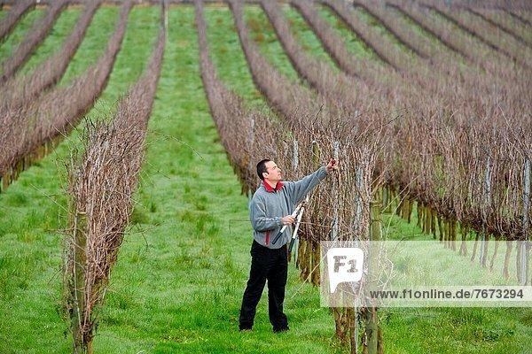 Farmer pruning vineyard  Txakoli  Gipuzkoa  Basque Country  Spain.