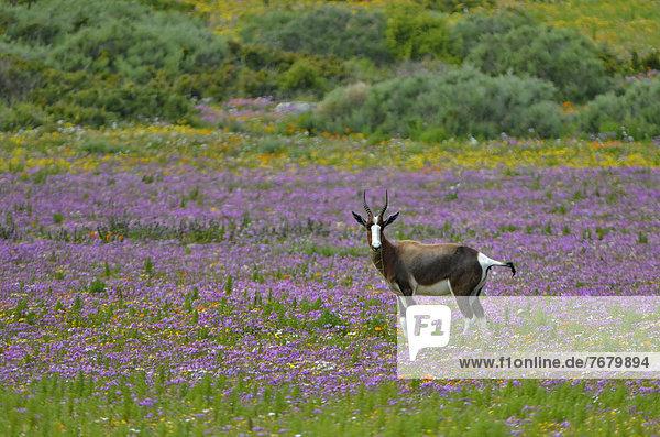 Südliches Afrika  Südafrika  Blume  Feld  Afrika  Antilope  West Coast Nationalpark