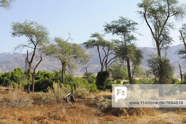 Buschlandschaft  hinten Brandberg  Damaraland  Namibia  Afrika