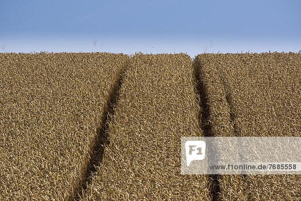 Wheat field  cornfield
